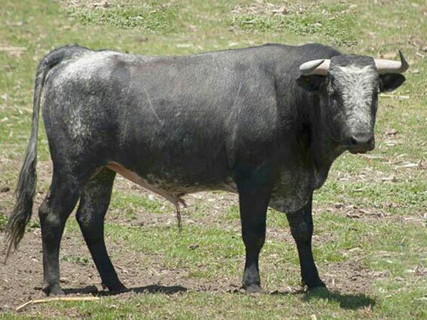 Los toros para la encerrona de Hilda